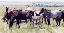 Mustang Herd 1