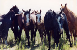 Mustang Herd 2