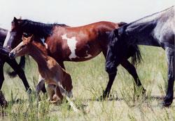 Mustang Herd 3