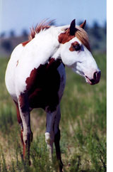 Mustang Paint Horse