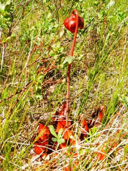 Pitcher Plant in Bloom