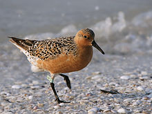 RedKnot