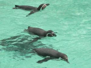 PenguinSwim
