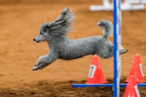 Barnaby's flying ears ©Steve Bull - Sirius Photography