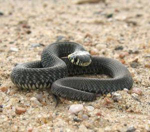 Black_Snake_On_Alert_600