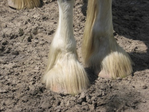 Clydesdale_Feet