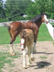 Clydesdale_MomFoal